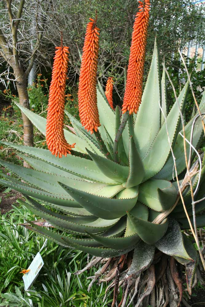 aloe bilder botanischen garten kirstenbosch kapstadt in s dafrika. Black Bedroom Furniture Sets. Home Design Ideas