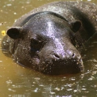 Junges Hippo