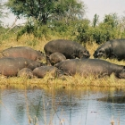 Hippo am River