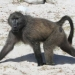 Baboon am Cape Point