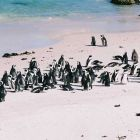 Pinguin Beach Simons Town