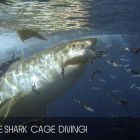 Cape Town Great White Shark Dive